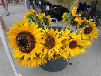 Sunflowers: the reason Erin's in Whitetail